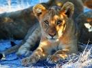 lion-1305801_1920